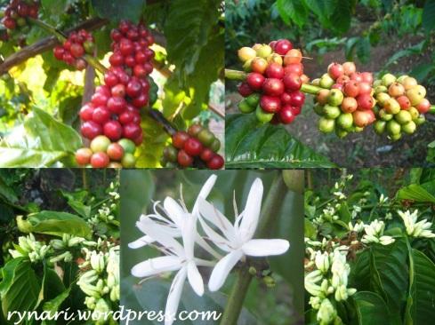 merah-putih-buah-bunga-kopi